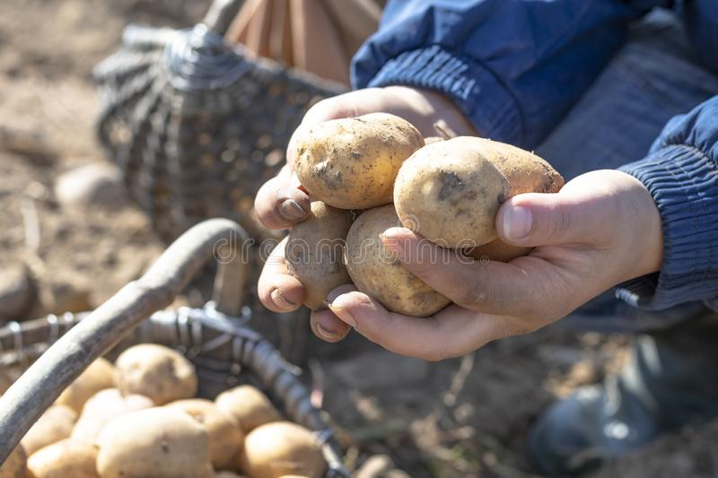 The ground under your feet. A man holds potatoes in his hands. Street lighting. the ground under your feet. A man holds potatoes in his hands, field, agriculture royalty free stock photography