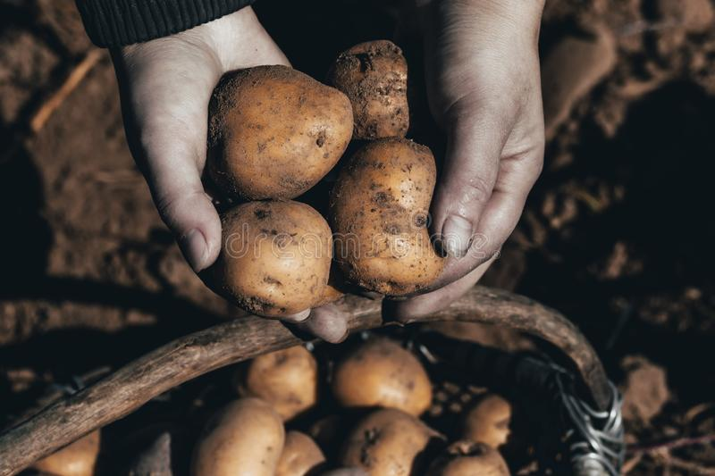 The ground under your feet. A man holds potatoes in his hands. Street lighting. the ground under your feet. A man holds potatoes in his hands, field, agriculture stock photos