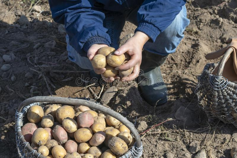 The ground under your feet. A man holds potatoes in his hands. Street lighting. the ground under your feet. A man holds potatoes in his hands, field, agriculture stock image