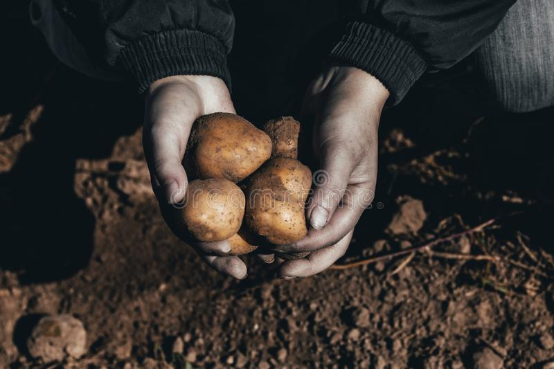 The ground under your feet. A man holds potatoes in his hands. Street lighting. the ground under your feet. A man holds potatoes in his hands. tinted, age, help stock photos