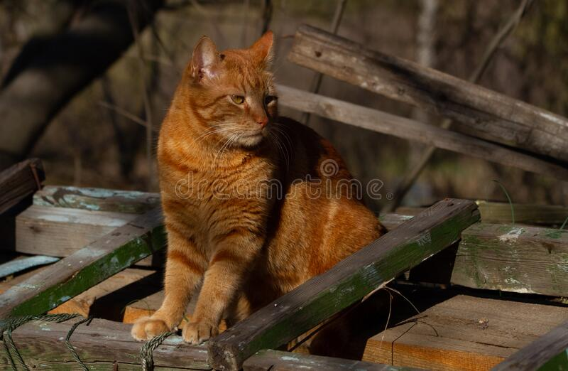 Street Orange tabby cat with unusually beautiful sidin hair on wooden boards and looks away. Street Orange tabby cat looking royalty free stock images