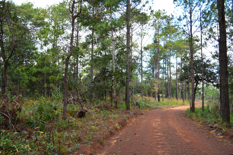 Street on Pine forest. Path going throug a forest of pine trees royalty free stock image