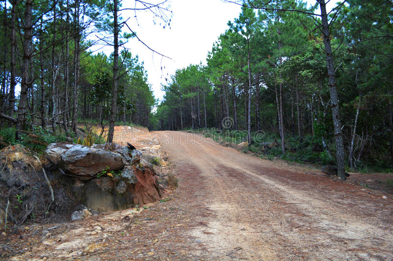 Street on Pine forest. Path going throug a forest of pine trees royalty free stock photo