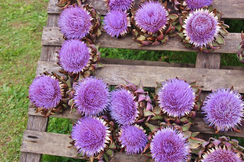 Street sale of blooming artichokes with bright lilac blossoms. Bavaria, Germany, royalty free stock photos