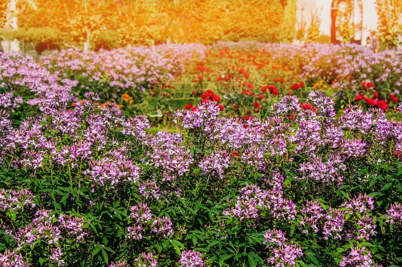 Street at sunset, decorated with a large flower bed of white, pink, purple flowers of Impatiens royalty free stock images