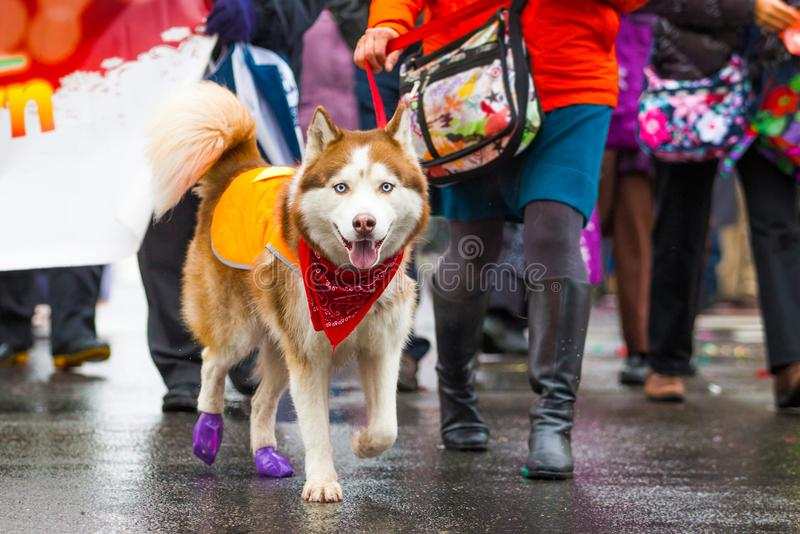 Street walking husky dog on a leash during rain royalty free stock photos