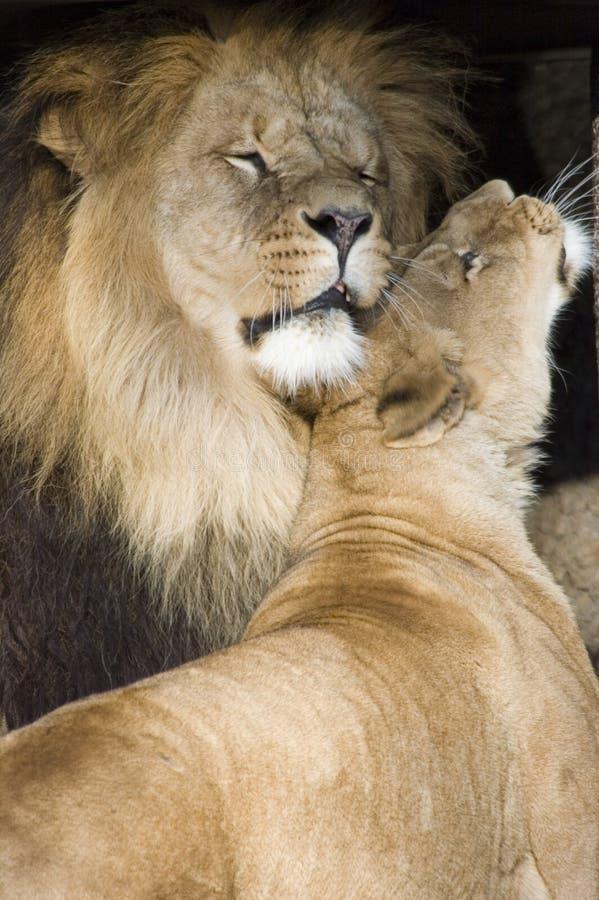 Streichelnde Löwen lizenzfreie stockbilder