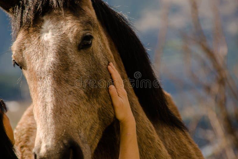 Streichelndes cheeck Pferd der Frau stockfotos