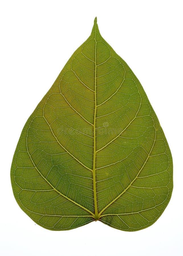 Streifen auf Blättern lizenzfreie stockfotos