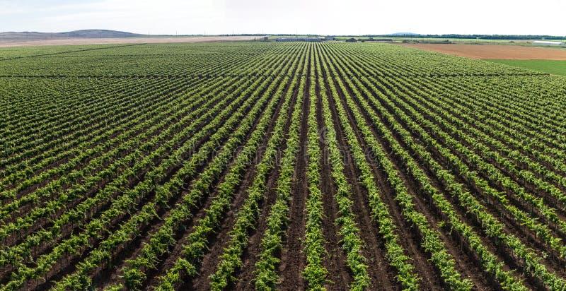 Streifen eines Weinbergs stockfotos