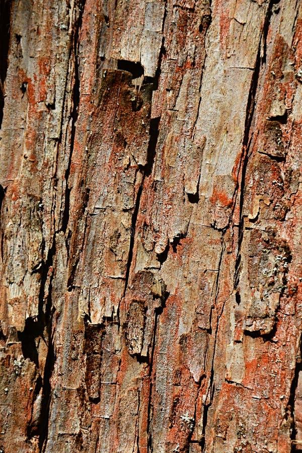 Streifen Sie die hölzerne Beschaffenheit von Dämmerungsrotholz-Koniferenbaum Metasequoia glyptostroboides ab, gebürtig zu Lichuan stockfoto