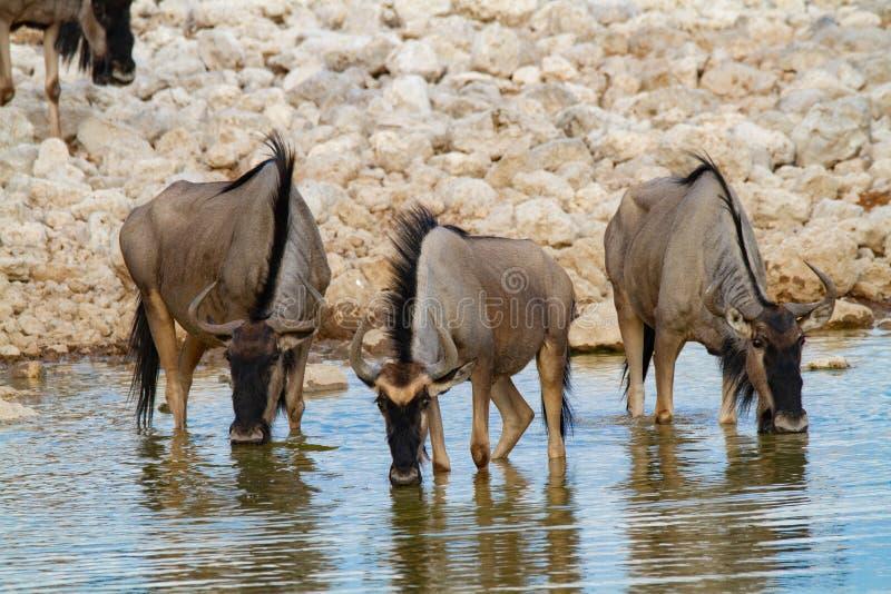 Streifengnunamibia-Wüsten und -natur in den Nationalparks stockfotografie
