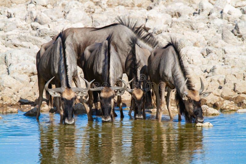 Streifengnunamibia-Wüsten und -natur in den Nationalparks lizenzfreies stockfoto