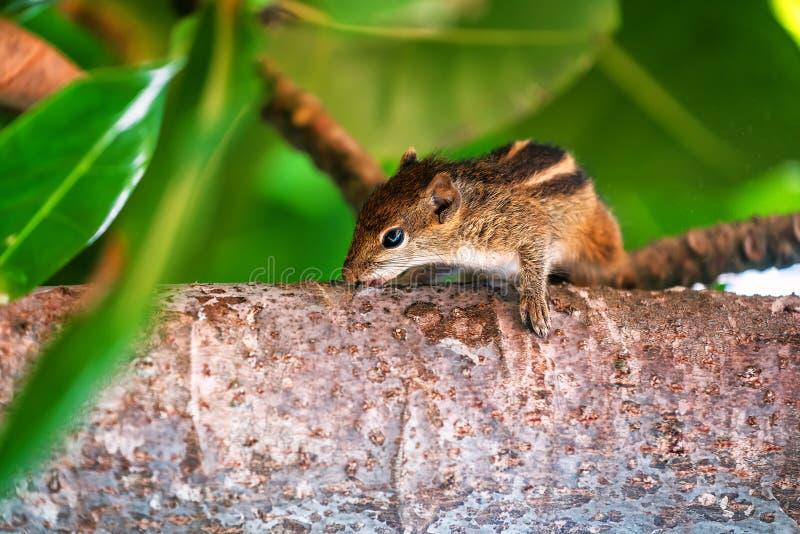 Streifenhörnchen auf einem Baum lizenzfreies stockbild