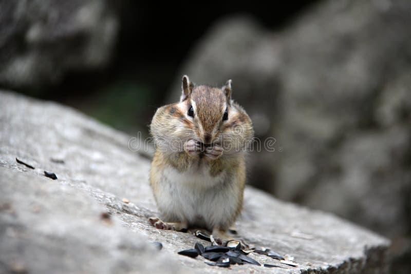 Streifenhörnchen auf einem Felsen lizenzfreies stockbild