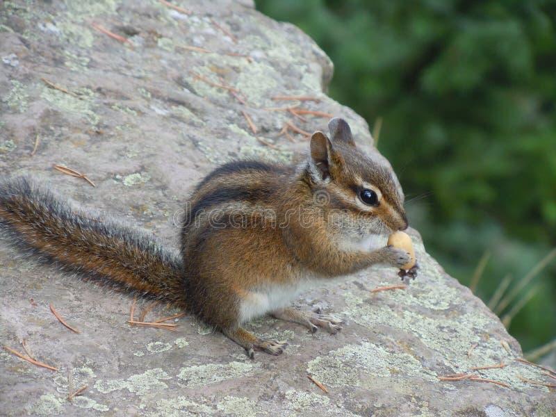 Streifenhörnchen auf einer Klippe stockfotos