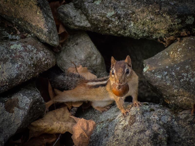 Streifenhörnchen-Aufstellung stockbild