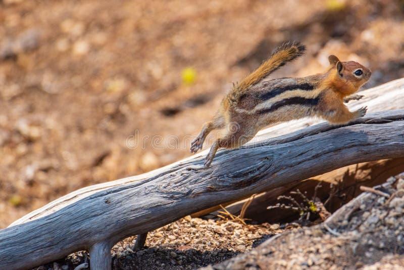 Streifenhörnchen, das auf Klotz läuft stockbild