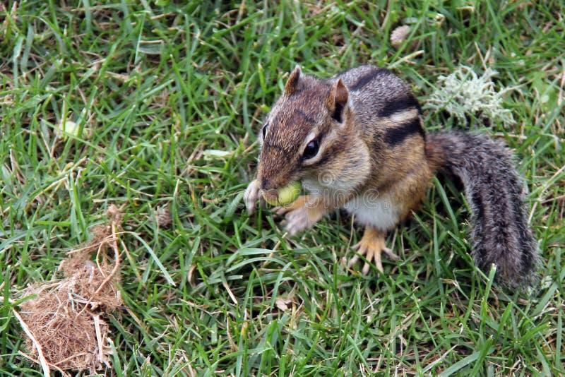 Streifenhörnchen, das eine Eichel isst lizenzfreie stockfotos