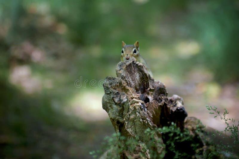 Streifenhörnchen, das seinen Kopf oben behing ist einen Klotz haftet stockfotos
