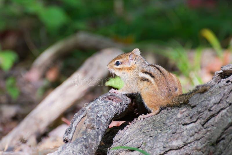 Streifenhörnchen gehockt auf einem Stumpf lizenzfreie stockfotografie