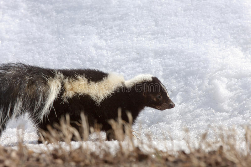Streifenskunk im Winter stockbilder