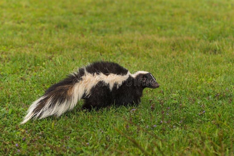 Streifenskunk Mephitis Mephitis im Gras stockfoto
