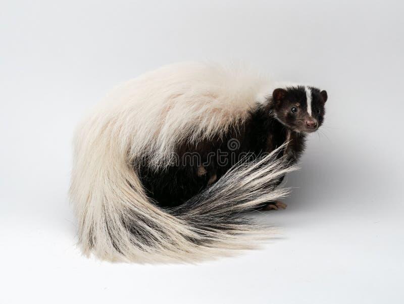 Streifenskunk - Mephitis Mephitis vor einem weißen Hintergrund lizenzfreie stockfotografie