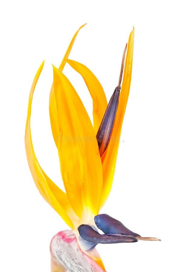 strelitzia рая цветка птицы стоковая фотография