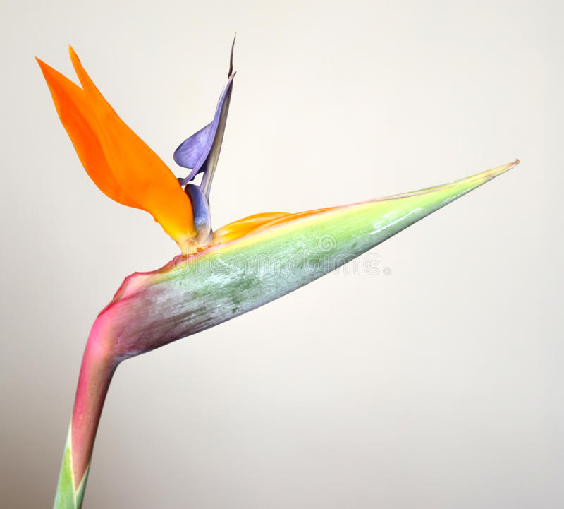 Strelitzia. Colorfull strelitzia reginae on a white and grey background royalty free stock images