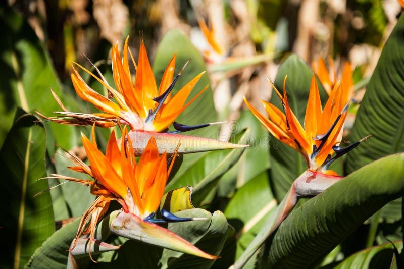 Strelitzia royaltyfria foton