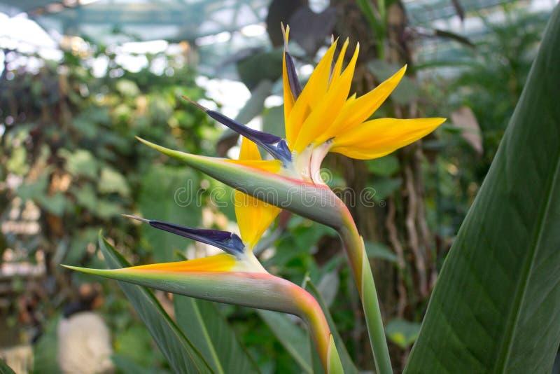 Strelitzia africano, ave del paraíso fotos de archivo libres de regalías
