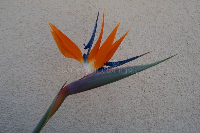 Strelitzia, ave del paraíso, o lirio de la grúa fotos de archivo libres de regalías