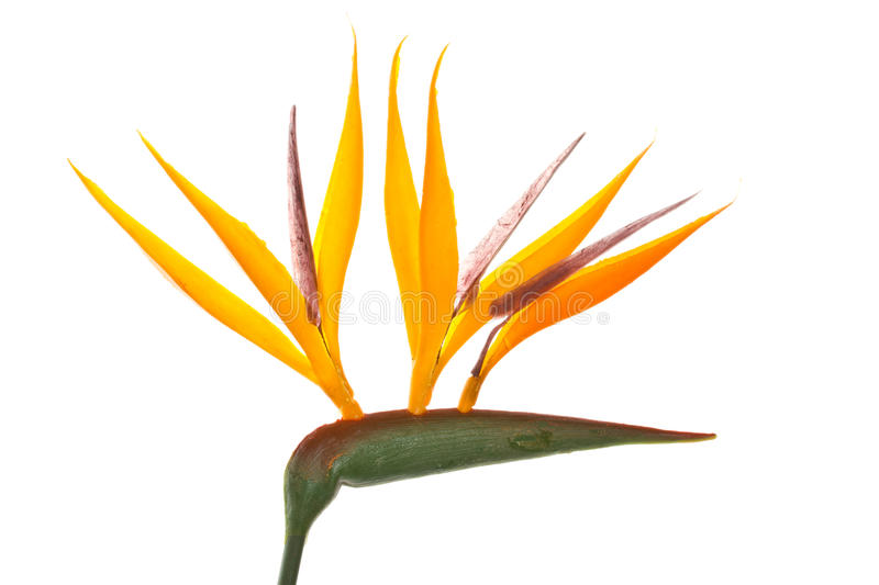 Strelitzia Royalty Free Stock Photos