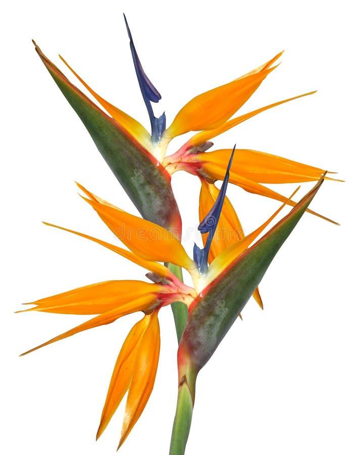 strelitzia de paradis d'isolement par oiseau images libres de droits