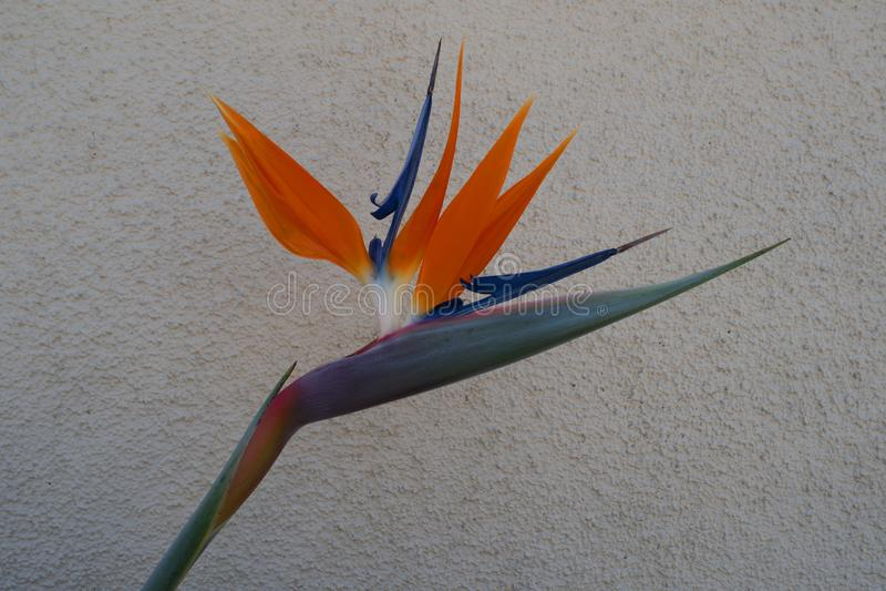 Strelitzia, fågel av paradiset eller kranlilja royaltyfria foton