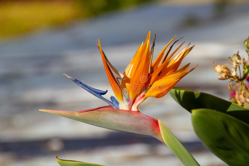 Strelitzia flower in the sun royalty free stock photos