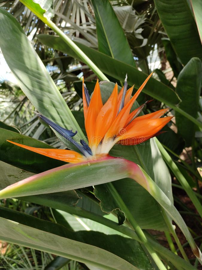 Bird of paradise Strelitzia flower with long leaves. Strelitzia is a genus of five species of perennial plants, native to South Africa. It belongs to the plant royalty free stock photo