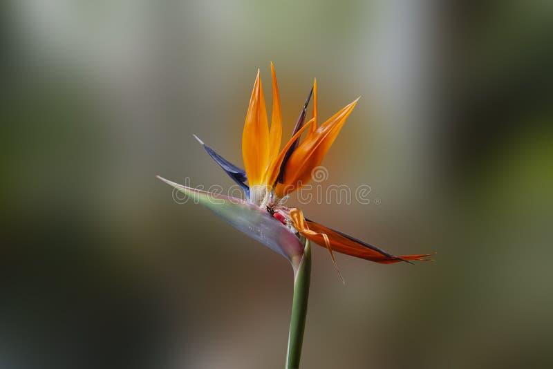 Strelitzia kunglig blomma royaltyfri bild