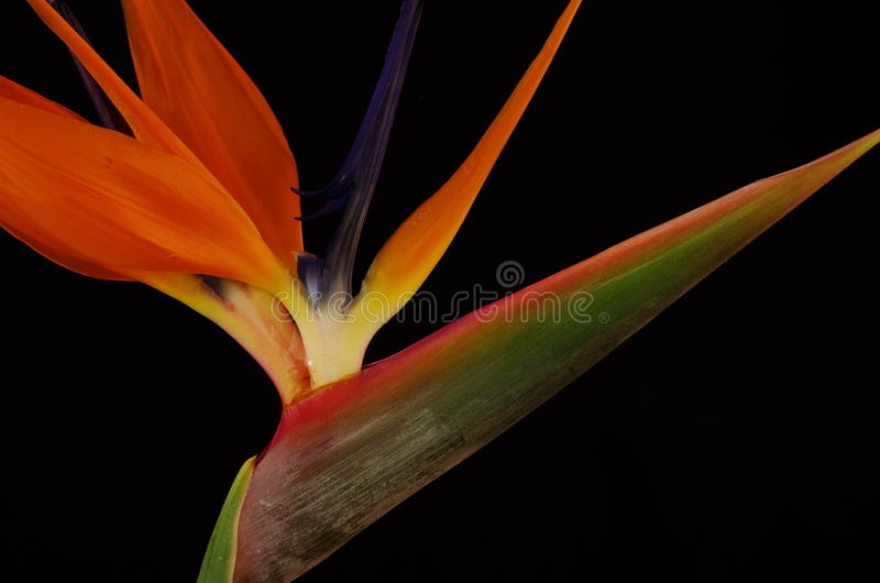 Strelitzia. One strelitzia of black background stock photos
