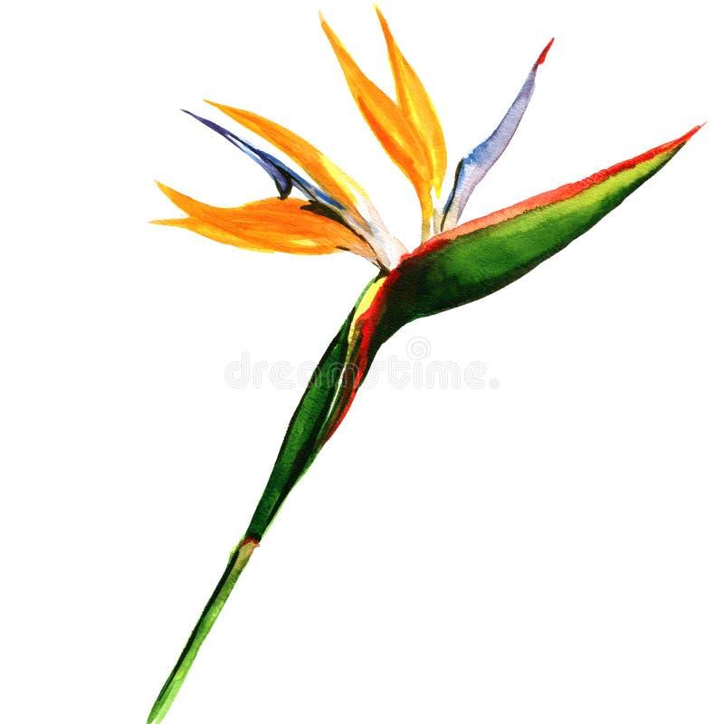 Strelitzia, pássaro da flor de paraíso isolado, ilustração stock