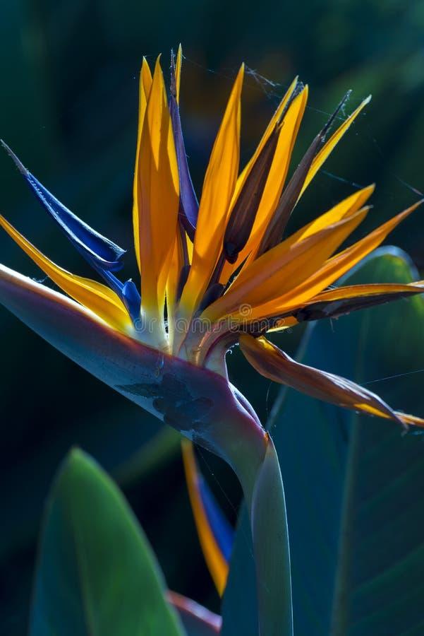 Strelitzia Reginae arkivfoton