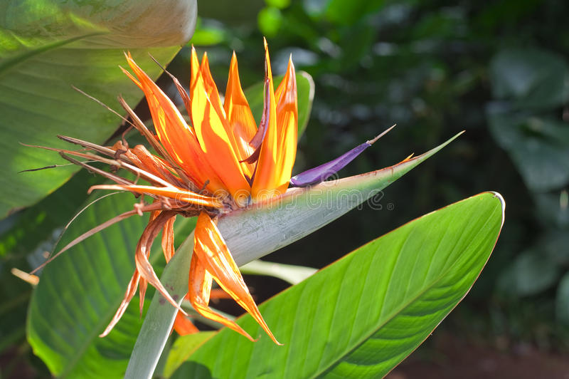 Strelitzia reginae lizenzfreies stockfoto
