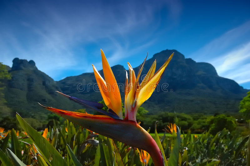 strelitzia reginae στοκ εικόνες με δικαίωμα ελεύθερης χρήσης