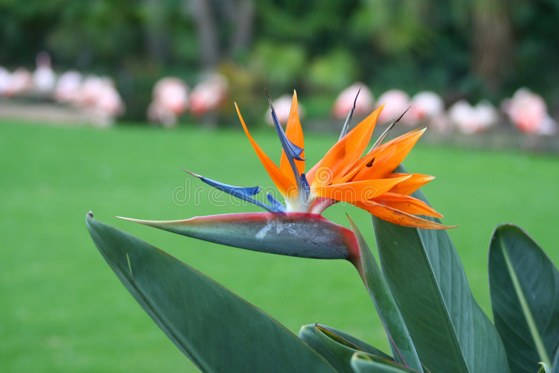 strelitzia reginae στοκ εικόνες