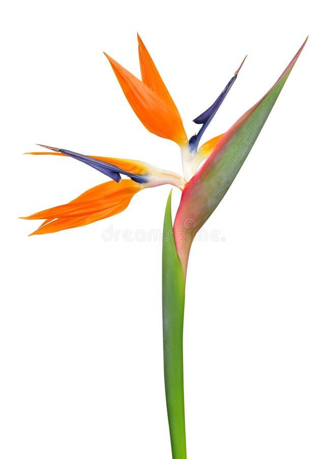 Strelitzia reginae, bird of paradise flower. Isolated on white background stock images