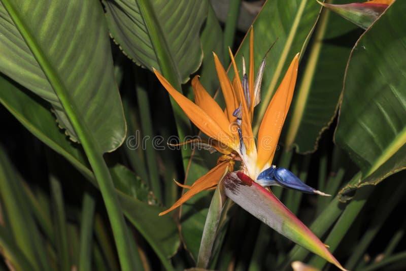 Strelitzia Reginae Blommor och trädgårdar arkivfoto