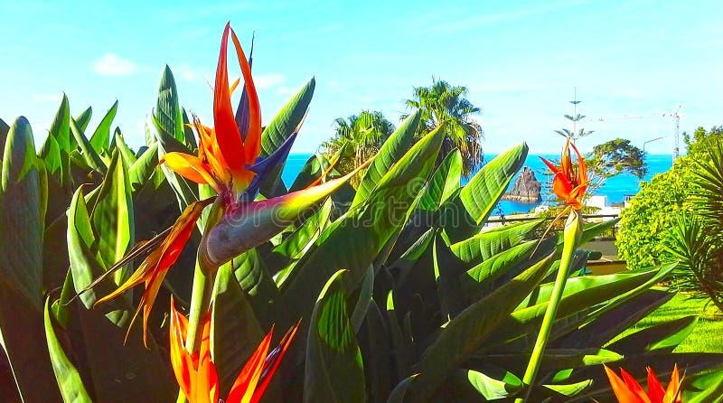 Strelitzia Reginae-Blumenparadiesvogel Blume Madeira-Insel stockfoto