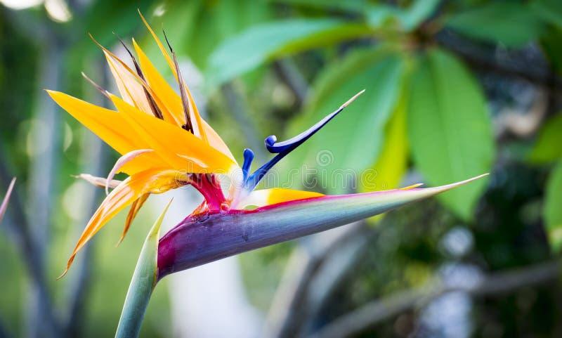 Strelitzia Reginae eller fågel av paradisväxten fotografering för bildbyråer