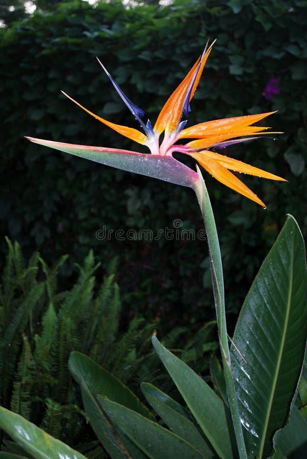 Strelitzia Reginae eller fågel av paradisväxten arkivbilder